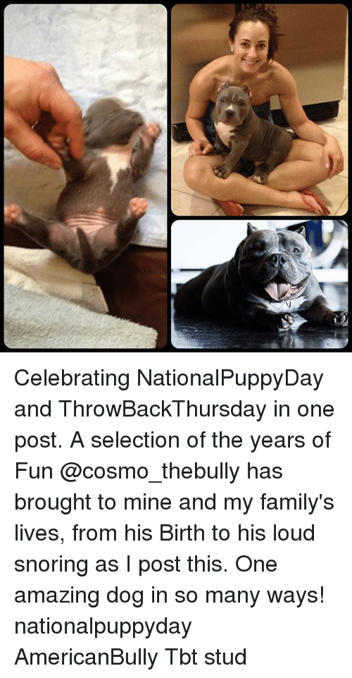 Memes, 🤖, and Mine: V Celebrating NationalPuppyDay and ThrowBackThursday in one post. A selection of the years of Fun @cosmo_thebully has brought to mine and my family's lives, from his Birth to his loud snoring as I post this. One amazing dog in so many ways! nationalpuppyday AmericanBully Tbt stud