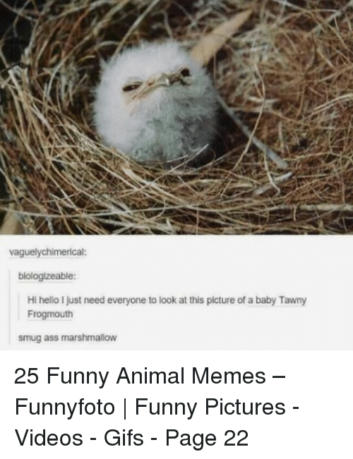 smug: vaguelychimerical:  biologizeable:  Hi hello I just need everyone to look at this picture of a baby Tawny  Frogmouth  smug ass marshmallow 25 Funny Animal Memes – Funnyfoto | Funny Pictures - Videos - Gifs - Page 22