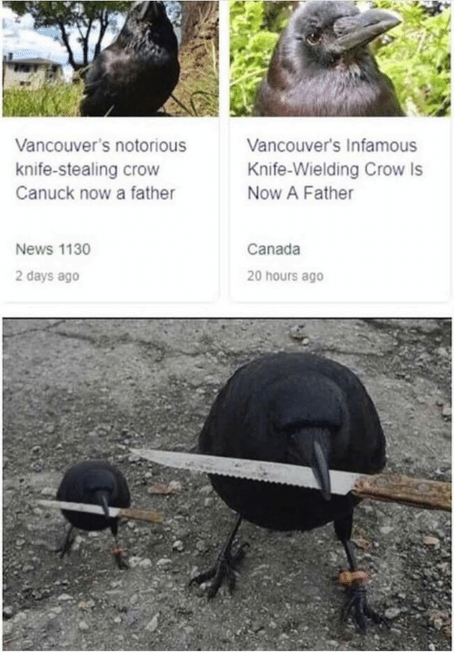 notorious: Vancouver's Infamous  Vancouver's notorious  knife-stealing crow  Knife-Wielding Crow Is  Now A Father  Canuck now a father  Canada  News 1130  2 days ago  20 hours ago