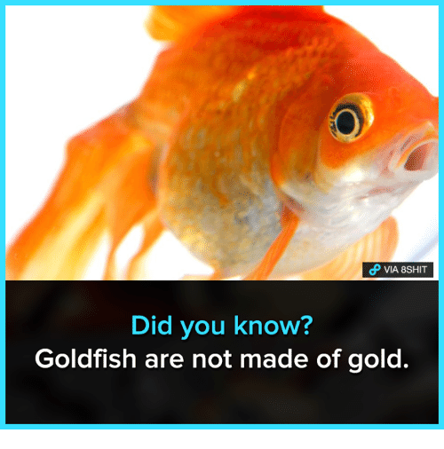 Goldfish, Memes, and 🤖: VIA 8SHIT  Did you know?  Goldfish are not made of gold.