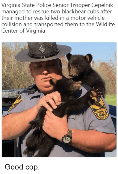Police, Cubs, and Good: Virginia State Police Senior Trooper Cepelnik  managed to rescue two blackbear cubs after  their mother was killed in a motor vehicle  collision and transported them to the Wildlife  Center of Virginia <p>Good cop.</p>