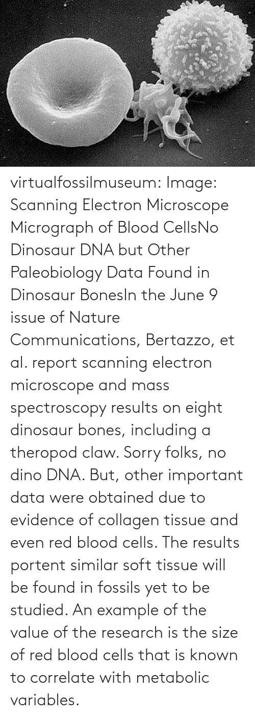 collagen: virtualfossilmuseum:  Image: Scanning Electron Microscope Micrograph of Blood CellsNo Dinosaur DNA but Other Paleobiology Data Found in Dinosaur BonesIn the June 9 issue of Nature Communications, Bertazzo, et al. report scanning electron microscope and mass spectroscopy results on eight dinosaur bones, including a theropod claw. Sorry folks, no dino DNA. But, other important data were obtained due to evidence of collagen tissue and even red blood cells. The results portent similar soft tissue will be found in fossils yet to be studied. An example of the value of the research is the size of red blood cells that is known to correlate with metabolic variables.