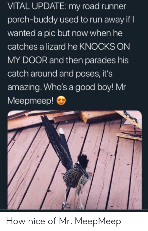 A Pic: VITAL UPDATE: my road runner  porch-buddy used to run away if  wanted a pic but now when he  catches a lizard he KNOCKS ON  MY DOOR and then parades his  catch around and poses, it's  amazing. Who's a good boy! Mr  Meepmeep! How nice of Mr. MeepMeep