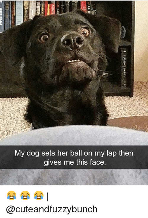Memes, 🤖, and Her: vy dog sets her ball on my lap then  gives me this face. 😂 😂 😂 | @cuteandfuzzybunch