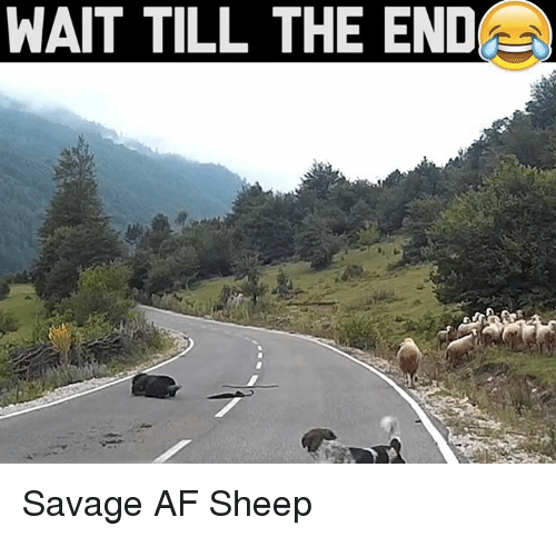 Memes, Savage Af, and 🤖: WAIT TILL THE END Savage AF Sheep