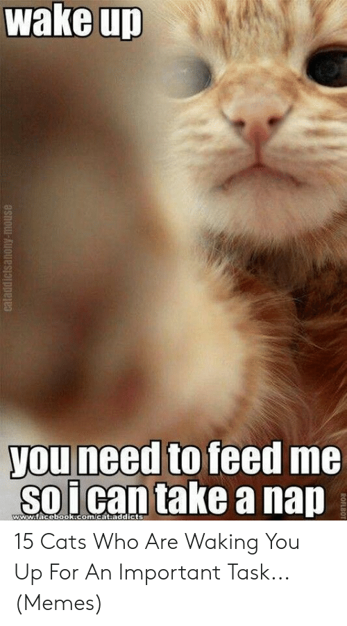 addicts: wake up  you need to feed me  soican take a nap  www.facebook.com/cat.addicts  eataddictsanony-mouse  ROFLBOT 15 Cats Who Are Waking You Up For An Important Task... (Memes)
