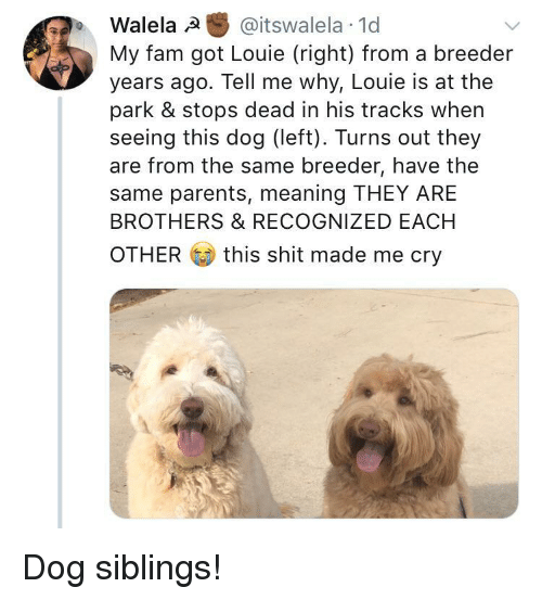 Louie: Walela @itswalela 1d  My fam got Louie (right) from a breeder  years ago. Tell me why, Louie is at the  park & stops dead in his tracks when  seeing this dog (left). Turns out they  are from the same breeder, have the  same parents, meaning THEY ARE  BROTHERS & RECOGNIZED EACH  OTHER  this shit made me cry <p>Dog siblings!</p>