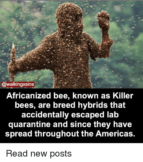 Memes, Bees, and 🤖: @walkingxsins  Africanized bee, known as Killer  bees, are breed hybrids that  accidentally escaped lab  quarantine and since they have  spread throughout the Americas. Read new posts