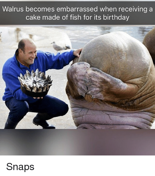 Birthday, Funny, and Cake: Walrus becomes embarrassed when receiving a  cake made of fish for its birthday Snaps