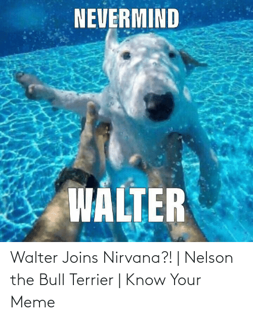 know your meme: Walter Joins Nirvana?!   Nelson the Bull Terrier   Know Your Meme