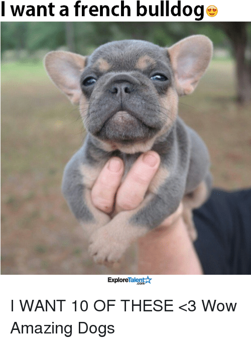 Memes, Wow, and Bulldog: want a french bulldog  Talent A  Explore I WANT 10 OF THESE <3  Wow Amazing Dogs