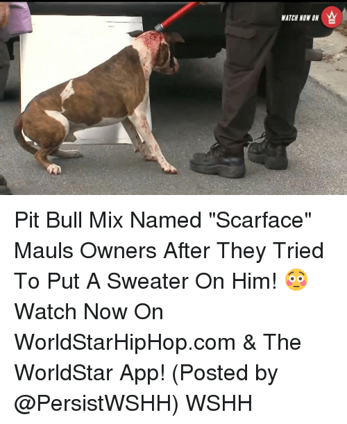 """Memes, Scarface, and Worldstar: WATCH NOW ON Pit Bull Mix Named """"Scarface"""" Mauls Owners After They Tried To Put A Sweater On Him! 😳 Watch Now On WorldStarHipHop.com & The WorldStar App! (Posted by @PersistWSHH) WSHH"""