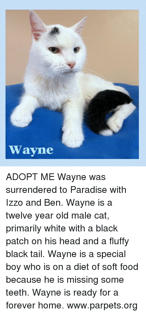 Memes, 🤖, and Cat: Wayne ADOPT ME Wayne was surrendered to Paradise with Izzo and Ben.  Wayne is a twelve year old male cat, primarily white with a black patch on his head and a fluffy black tail.  Wayne is a special boy who is on a diet of soft food because he is missing some teeth.  Wayne is ready for a forever home. www.parpets.org