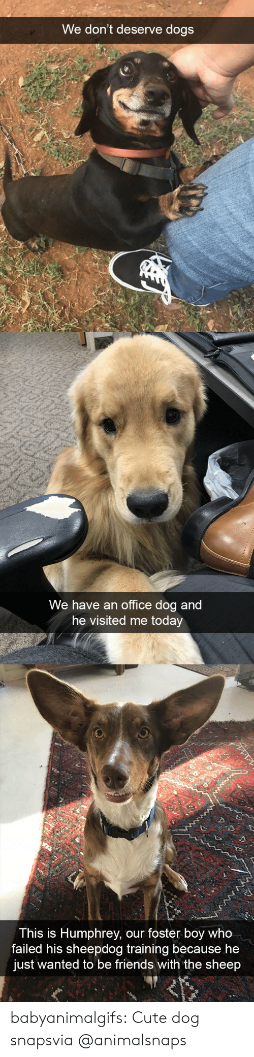 sheep: We don't deserve dogs   We have an office dog and  he visited me today   This is Humphrey, our foster boy who  failed his sheepdog training because he  just wanted to be friends with the sheep babyanimalgifs:  Cute dog snapsvia @animalsnaps