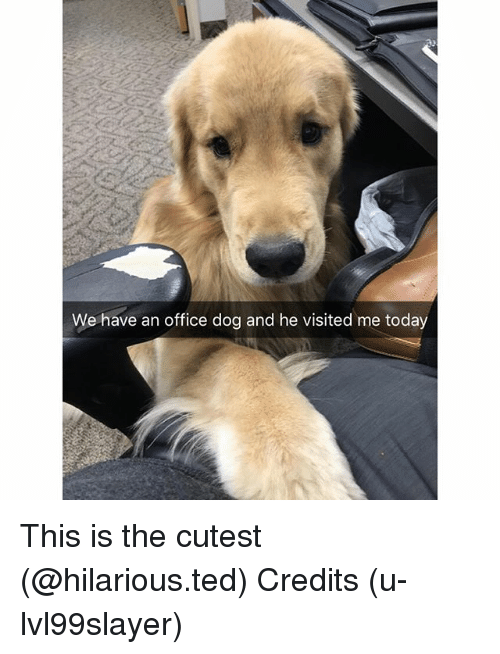 Funny, Ted, and Office: We have an office dog and he visited me today This is the cutest (@hilarious.ted) Credits (u-lvl99slayer)