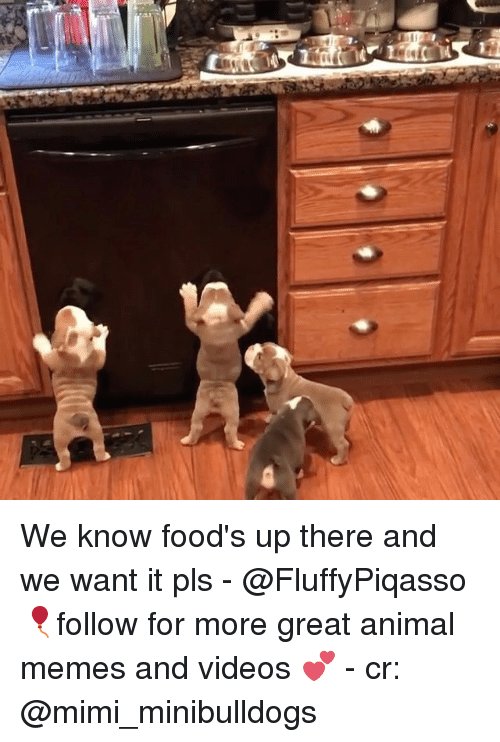 Memes, Videos, and Animal: We know food's up there and we want it pls - @FluffyPiqasso 🎈follow for more great animal memes and videos 💕 - cr: @mimi_minibulldogs
