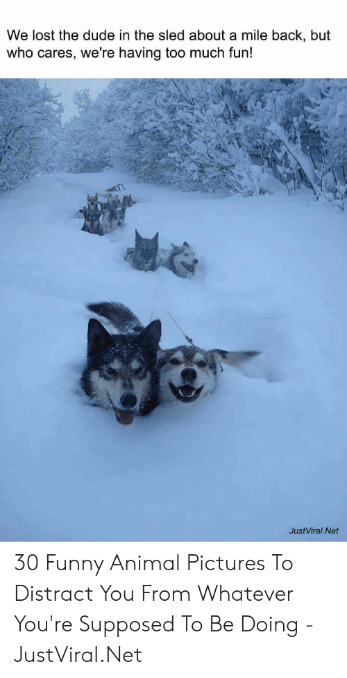 distract: We lost the dude in the sled about a mile back, but  who cares, we're having too much fun!  JustViral.Net 30 Funny Animal Pictures To Distract You From Whatever You're Supposed To Be Doing - JustViral.Net