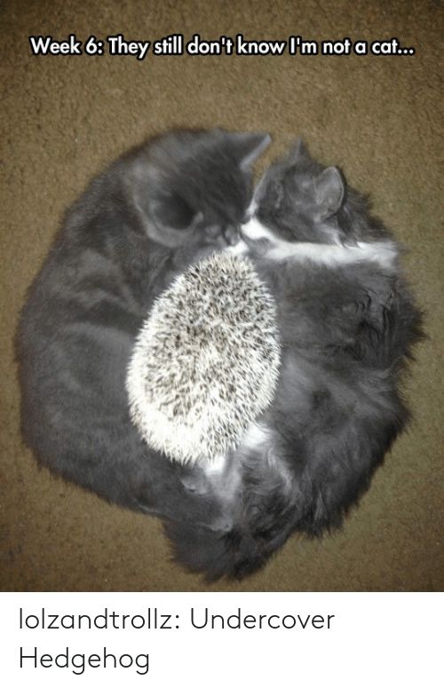 undercover: Week 6: They still don't know I'm not a cat... lolzandtrollz:  Undercover Hedgehog