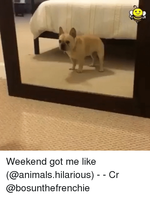 Animals, Funny, and Hilarious: Weekend got me like (@animals.hilarious) - - Cr @bosunthefrenchie