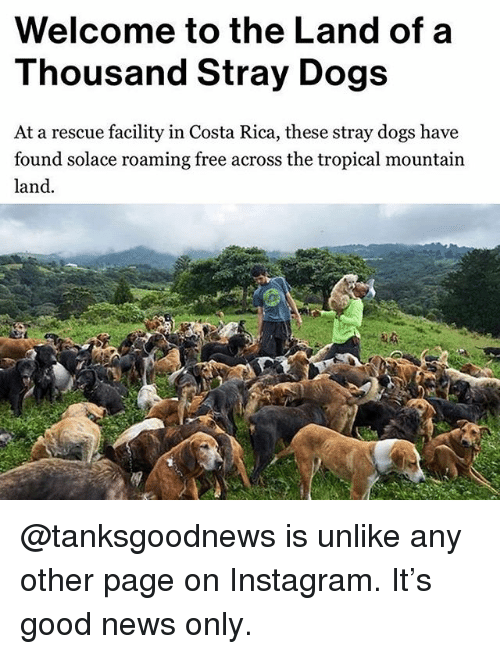 Dogs, Funny, and Instagram: Welcome to the Land of a  Thousand Stray Dogs  At a rescue facility in Costa Rica, these stray dogs have  found solace roaming free across the tropical mountain  land. @tanksgoodnews is unlike any other page on Instagram. It's good news only.