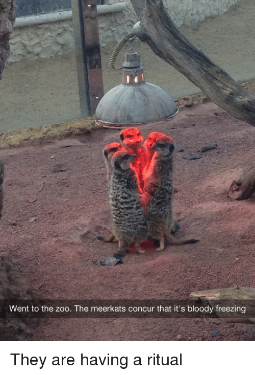 meerkats: Went to the zoo. The meerkats concur that it's bloody freezing They are having a ritual