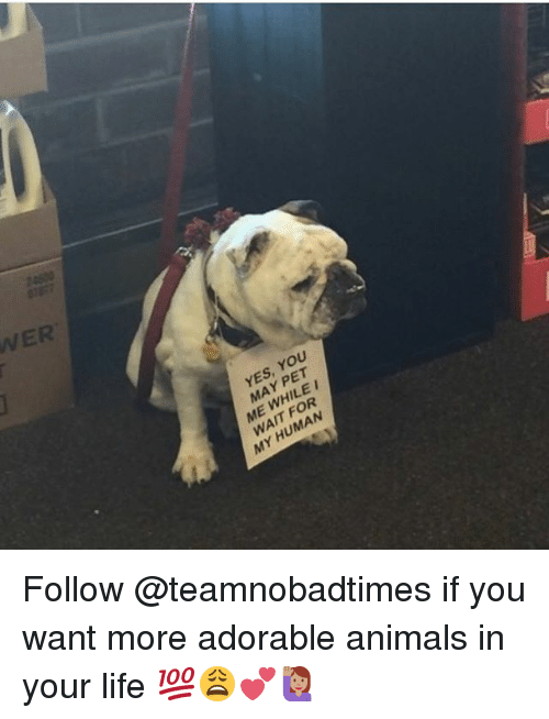 Animals, Life, and Memes: WER  YES, YOU  MAY PET  ME WHILE I  WAIT FOR  MY HUMAN Follow @teamnobadtimes if you want more adorable animals in your life 💯😩💕🙋🏽♀️