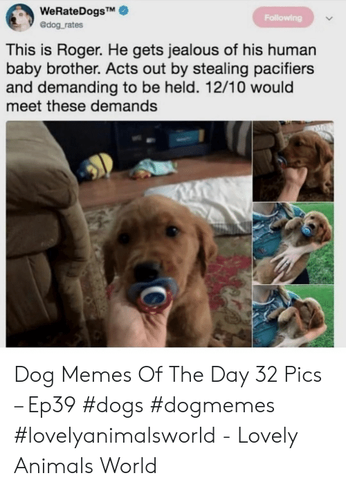 demanding: WeRateDogsTM  @dog rates  Following  This is Roger. He gets jealous of his human  baby brother. Acts out by stealing pacifiers  and demanding to be held. 12/10 would  meet these demands Dog Memes Of The Day 32 Pics – Ep39 #dogs #dogmemes #lovelyanimalsworld - Lovely Animals World