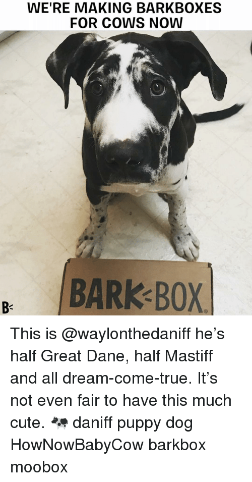 great dane: WE'RE MAKING BARKBOXES  FOR COWS NOW  BARK BOX  B- This is @waylonthedaniff he's half Great Dane, half Mastiff and all dream-come-true. It's not even fair to have this much cute. 🐄 daniff puppy dog HowNowBabyCow barkbox moobox