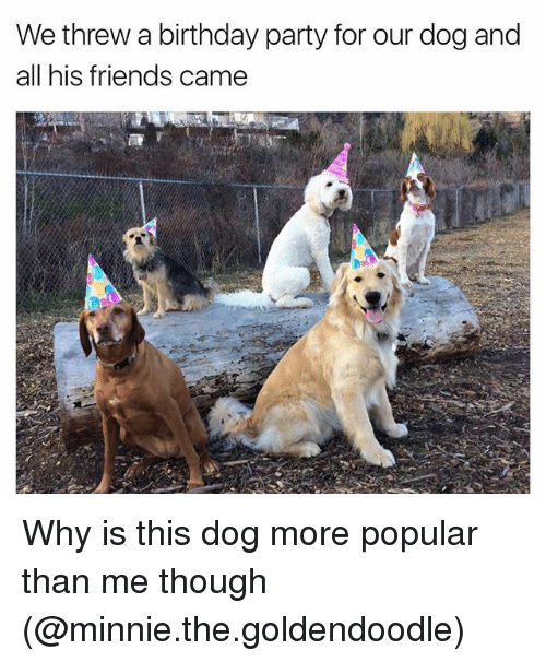 goldendoodle: Wethrew a birthday party for our dog and  all his friends came Why is this dog more popular than me though (@minnie.the.goldendoodle)