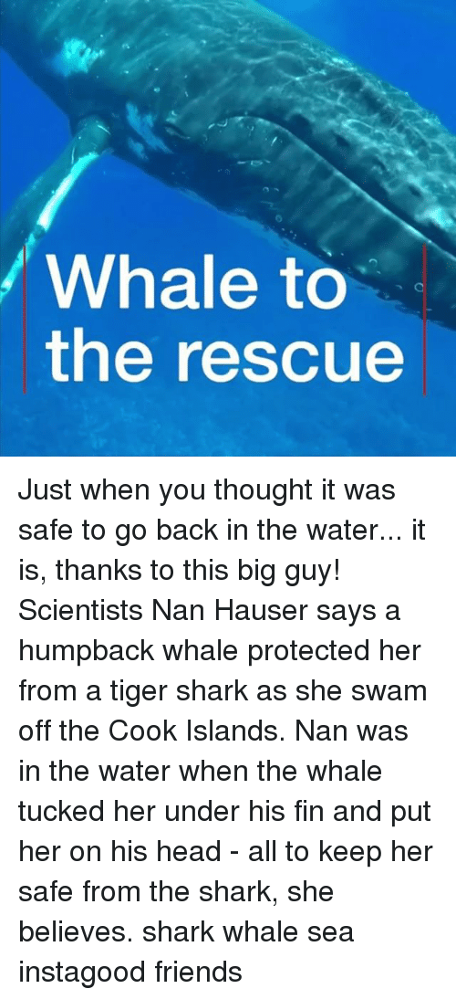 Friends, Head, and Memes: Whale to  the rescue Just when you thought it was safe to go back in the water... it is, thanks to this big guy! Scientists Nan Hauser says a humpback whale protected her from a tiger shark as she swam off the Cook Islands. Nan was in the water when the whale tucked her under his fin and put her on his head - all to keep her safe from the shark, she believes. shark whale sea instagood friends