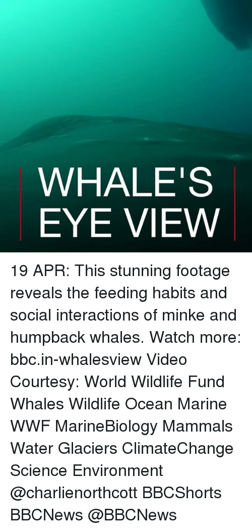 Climatechange: WHALES  EYE VIEW 19 APR: This stunning footage reveals the feeding habits and social interactions of minke and humpback whales. Watch more: bbc.in-whalesview Video Courtesy: World Wildlife Fund Whales Wildlife Ocean Marine WWF MarineBiology Mammals Water Glaciers ClimateChange Science Environment @charlienorthcott BBCShorts BBCNews @BBCNews