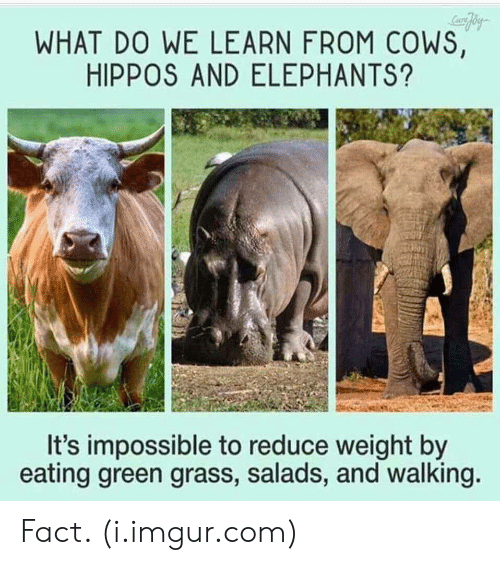 hippos: WHAT DO WE LEARN FROM COWS,  HIPPOS AND ELEPHANTS?  It's impossible to reduce weight by  eating green grass, salads, and walking Fact. (i.imgur.com)