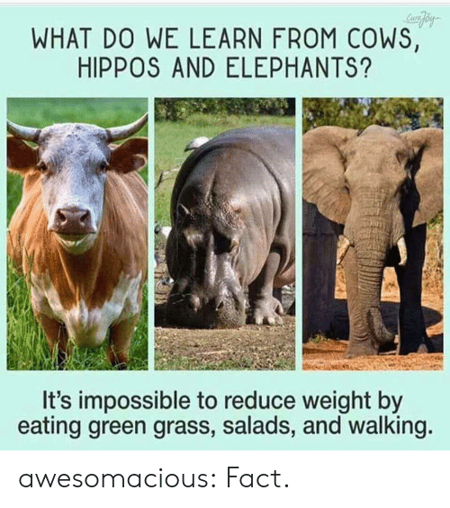 hippos: WHAT DO WE LEARN FROM COWS,  HIPPOS AND ELEPHANTS?  It's impossible to reduce weight by  eating green grass, salads, and walking awesomacious:  Fact.