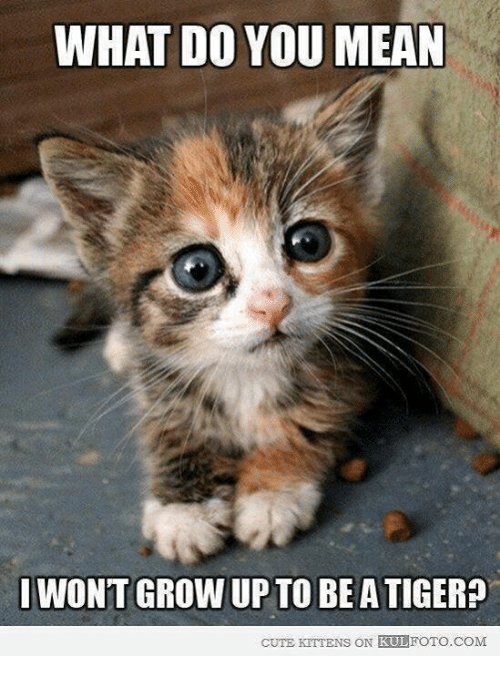 cute kittens: WHAT DO YOU MEAN  I WONT GROW UP TO BE ATIGER?  CUTE KITTENS  ON KULFOTO COM
