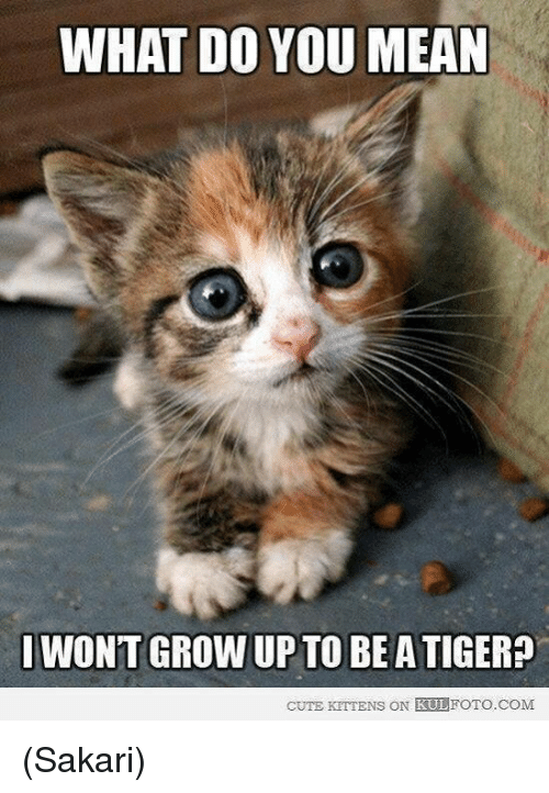 cute kittens: WHAT DO YOU  MEAN  I WONT GROW UP TO BE ATIGER?  CUTE KITTENS ON KULFOTO COM (Sakari)