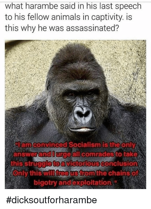 Animeds: what harambe said in his last speech  to his fellow animals in captivity. is  this why he was assassinated?  amconvinced Socialism is the only  answer and all comradesto take  this struggioto  Victorious Conclusions  will free Strom the Chain SO  Only this bigotry and exploitation #dicksoutforharambe