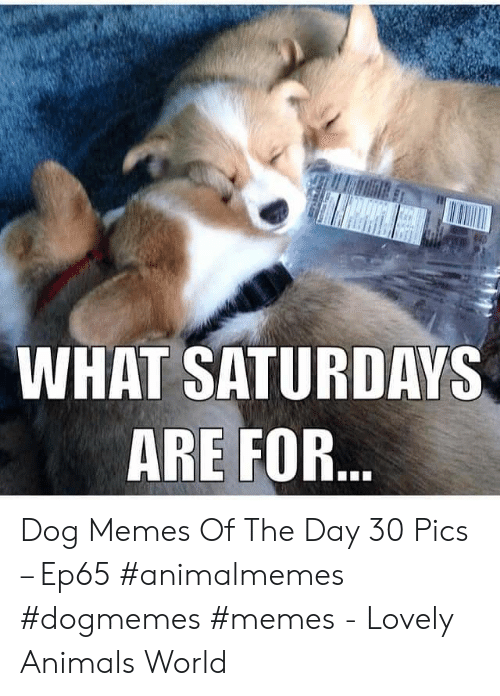saturdays: WHAT SATURDAYS  ARE FOR... Dog Memes Of The Day 30 Pics – Ep65 #animalmemes #dogmemes #memes - Lovely Animals World