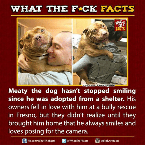 fb.com: WHAT THE FCK FACTS  FACTS  mage Source Www.urdogs.com  Meaty the dog hasn't stopped smiling  since he was adopted from a shelter. His  owners fell in love with him at a bully rescue  in Fresno, but they didn't realize until they  brought him home that he always smiles and  loves posing for the camera.  WhatTheFFacts  FB.com/What'TheFacts  adiplywtffacts
