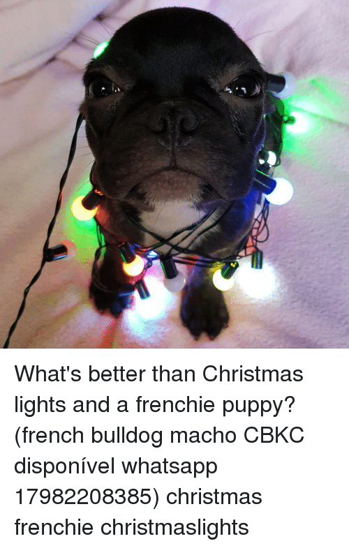 frenchy: What's better than Christmas lights and a frenchie puppy? (french bulldog macho CBKC disponível whatsapp 17982208385) christmas frenchie christmaslights
