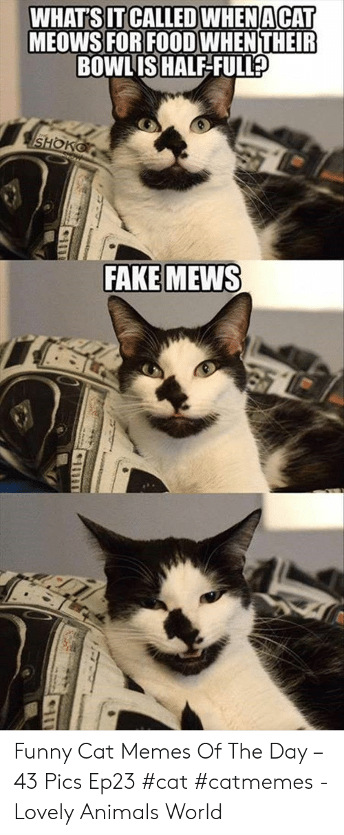 funny cat: WHAT'S IT CALLED WHENACAT  MEOWS FOR FOOD WHENTHEIR  BOWLIS HALF-FULL  SHOKO  FAKE MEWS Funny Cat Memes Of The Day – 43 Pics Ep23 #cat #catmemes - Lovely Animals World