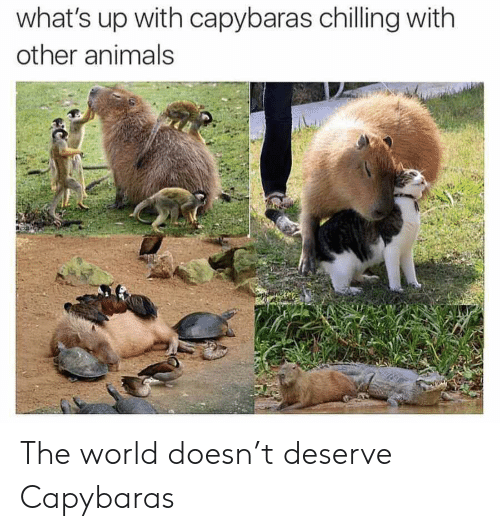 chilling: what's up with capybaras chilling with  other animals  C The world doesn't deserve Capybaras