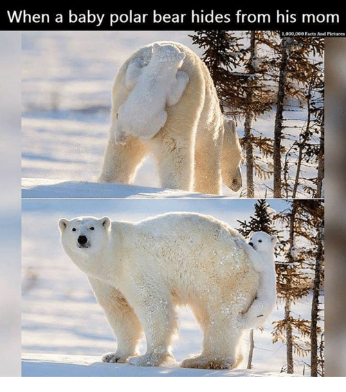 Baby, It's Cold Outside: When a baby polar bear hides from his mom  1,000,000 Facts And Pictures