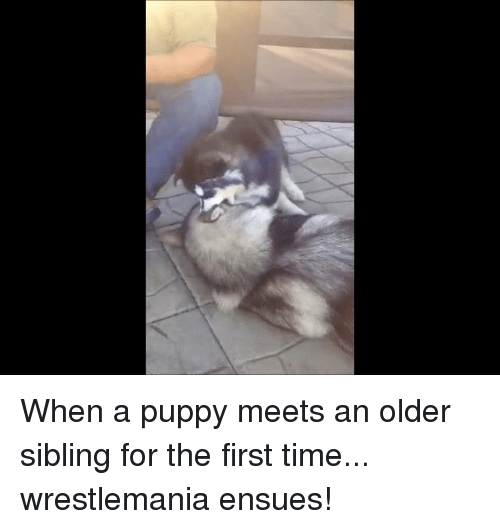 Older Siblings: When a puppy meets an older sibling for the first time... wrestlemania ensues!