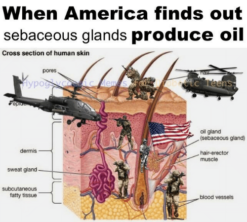 hal: When America finds out  sebaceous glands produce oil  Cross section of human skin  pores  hal  Hypog yoceic ems  abtc Teens  epio  oil gland  (sebaceous gland)  dermis  hair-erector  muscle  sweat gland  subcutaneous  fatty tissue  blood vessels