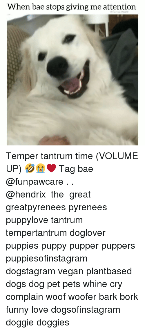 Volume Up: When bae stops giving me attention  @funpawcare Temper tantrum time (VOLUME UP) 🤣😭❤️ Tag bae @funpawcare . . @hendrix_the_great greatpyrenees pyrenees puppylove tantrum tempertantrum doglover puppies puppy pupper puppers puppiesofinstagram dogstagram vegan plantbased dogs dog pet pets whine cry complain woof woofer bark bork funny love dogsofinstagram doggie doggies
