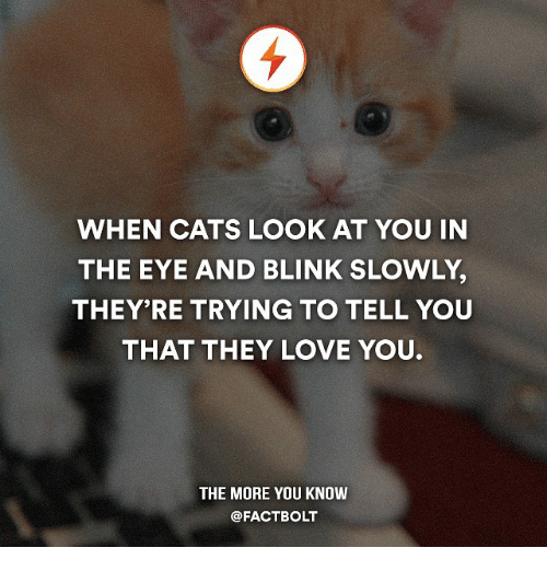 Memes and 🤖: WHEN CATS LOOK AT YOU IN  THE EYE AND BLINK SLOWLY.  THEY'RE TRYING TO TELL YOU  THAT THEY LOVE YOU.  THE MORE YOU KNOW  @FACT BOLT