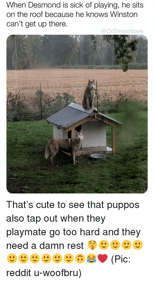 Cant Get Up: When Desmond is sick of playing, he sits  on the roof because he knows Winston  can't get up there  @DrSmashlove That's cute to see that puppos also tap out when they playmate go too hard and they need a damn rest 🤫🙂🙂🙂🙂🙂🙂🙂🙂🙂🙂🙃😂❤️ (Pic: reddit u-woofbru)