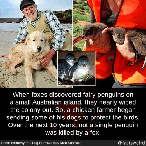 Colony: When foxes discovered fairy penguins on  a small Australian island, they nearly wiped  the colony out. So, a chicken farmer began  sending some of his dogs to protect the birds.  Over the next 10 years, not a single penguin  was killed by a fox.  Photo courtesy of Craig Borrow/Daily Mail Australia  @factsweird