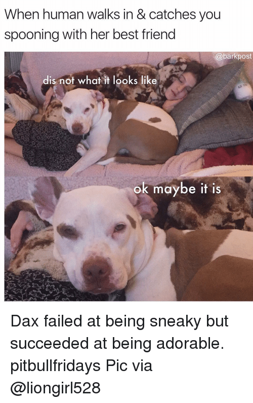 Best Friend, Memes, and Best: When human walks in & catches you  spooning with her best friend  @barkpost  dis not what it looks like  ok maybe it is Dax failed at being sneaky but succeeded at being adorable. pitbullfridays Pic via @liongirl528