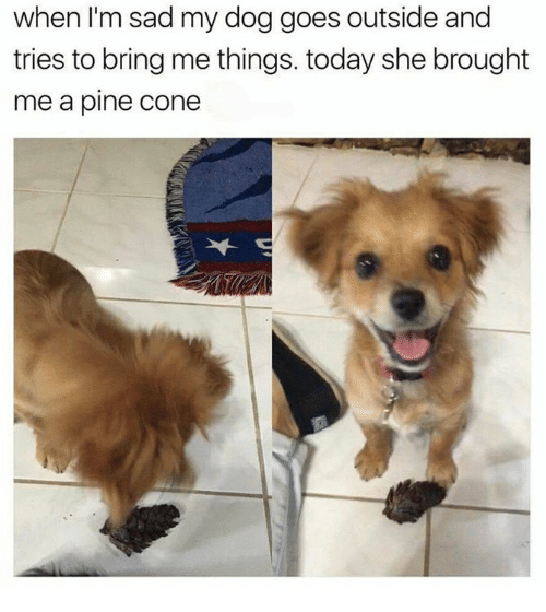 Memes, Today, and Sad: when I'm sad my dog goes outside and  tries to bring me things. today she brought  me a pine Cone